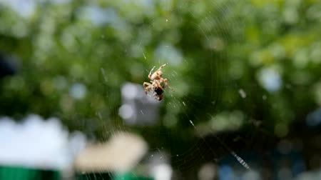 intricacy : garden spider hunting its prey in open air, spider on web eating its prey into sunshine, arachnid catches insects in cobweb close-up, araneid waits for prey in center web in sun