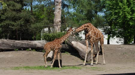 zsiráf : zoo, baby and mother of giraffes stand near the trough and chew green food