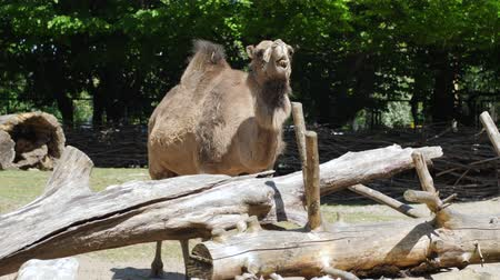 salya : camel chews in zoo, expressive herbivorous animal shows his jaws with huge teeth