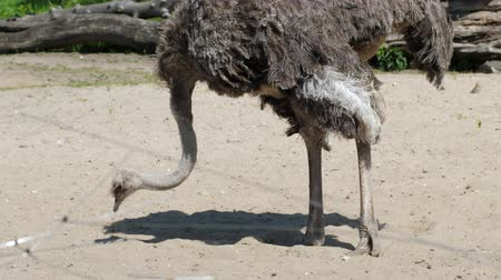 avestruz : ostrich with a long neck looking for food on the ground inside the zoo on a sunny day in summer