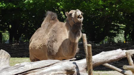 salya : portrait of chewing camel, expressive herbivorous animal shows his jaws with huge teeth in zoo