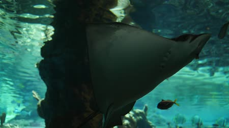 cativeiro : marine park, stingrays swim among small fish in captivity in clean water close-up Vídeos