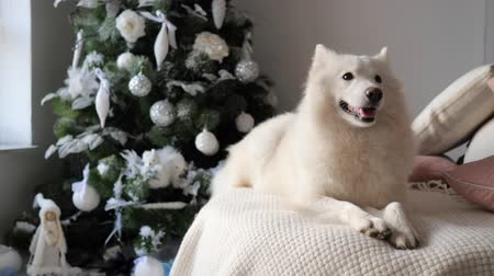 přehoz : New Year, dog lies on a cozy knitted white plaid near the festively decorated christmas tree