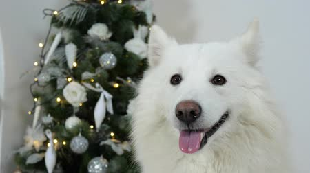 fajtatiszta kutya : Christmas dog with open mouth on background of decorated fir tree close-up