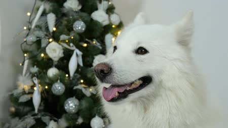 fajtatiszta kutya : New Years dog with open mouth on background of Christmas tree close-up Stock mozgókép