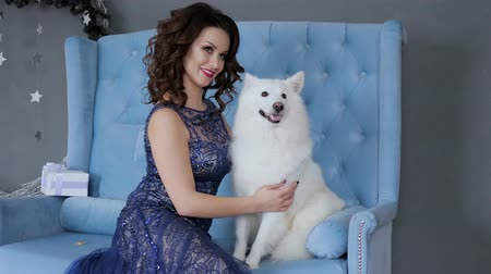 samoyed : Christmas dog near owner posing at camera sitting on blue couch on festive photo shoot in studio