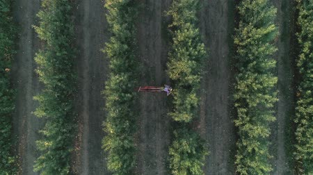 mahsul : relax on nature, aerial drone shot of young woman lying in a hammock with a basket of fruit in apple orchard Stok Video