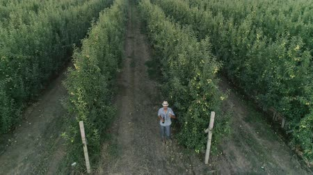 cidra : farmer raises a glass of apple drink in garden, drone view over neat rows of green fruit trees