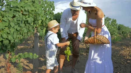 фермеры : harvesting, rural child helps parents to collect grapes and put in basket on plantations in sunny autumn day Стоковые видеозаписи