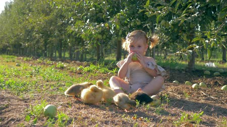 cowherd : harvesting, cute toddler eating apple while grazing small ducks in autumn garden during fruit crop season