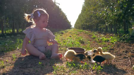 cowherd : rural childhood, cute child girl grazes small poultry sitting on grass in autumn garden during harvest season Stock Footage