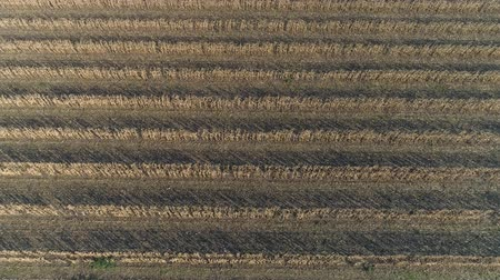 paralelo : harvesting, cornfield with Combine and tractor on parallel rows during harvest season in autumn in aerial view Vídeos