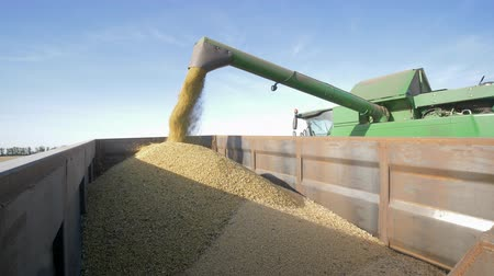 unload : harvested soya bean is loaded into a truck from the combine for transportation on field Stock Footage