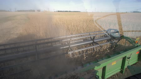 soya : soybean crop, farming equipment works in the dust and harvesting of ripe soya on field in autumn Stock Footage