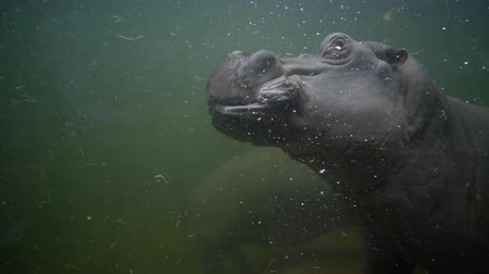 hippo : large hippos swimming in muddy water closeup in zoo, animals in imitation wildlife