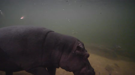 hippo : animals in imitation wildlife, big hippopotamus swimming under the water with lots of fish in zoo