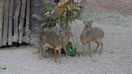 geyik : three beautiful small herbivores antelope eat dry leaves at zoo, Kirks dik-dik (Madoqua kirkii) Stok Video