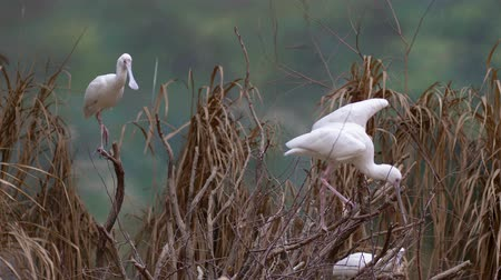 kamış : many white spoonbill birds on tree, long-legged wading bird of the ibis and spoonbill family