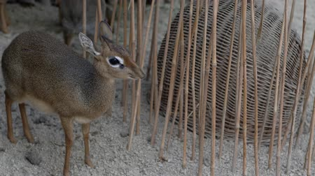 geyik : Kirks dik-dik (Madoqua kirkii) is small antelope chewing the food at zoo