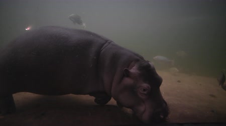 hippo : animals in imitation wildlife, hippopotamus and freshwater fish swim underwater in aquarium at zoo