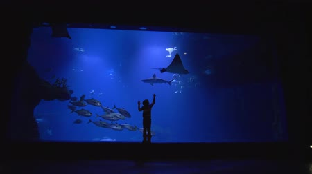 stingray : child boy studies the underwater world, stingrays, whale sharks and school of fish in large aquarium