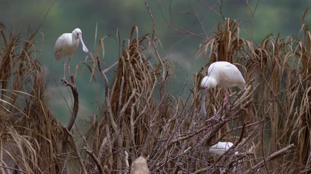 brodění : African spoonbill (Platalea alba) is a long-legged wading bird of the ibis and spoonbill family on tree