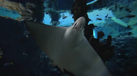siluro : aquatic animals in zoo, stingrays are swimming among fish in big aquarium with marine nature in clear blue water