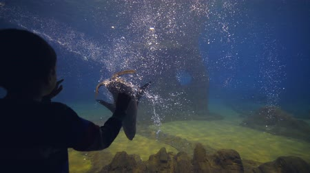 buzağı : child boy at oceanarium watching playing fur seals floating in clear transparent water in large aquarium Stok Video