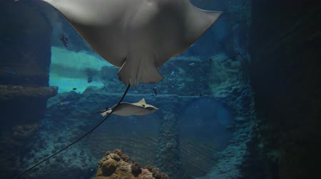 rezerv : marine zoo park, big stingrays are swimming among fish in oceanarium with undersea world in clear blue water Stok Video