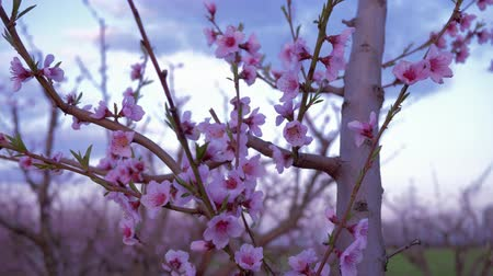floweret : blooming trees, pink flowers of apricot tree close up against sky