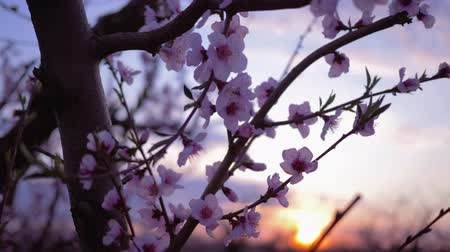 小花 : spring garden, beautiful gentle pink flowers on tree fruit apricot close-up in the orchard On the Sunset 動画素材