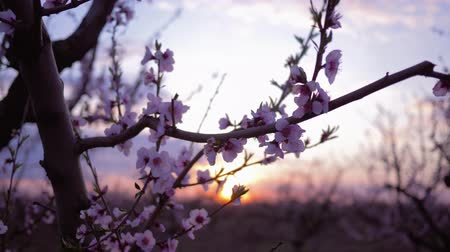 floweret : spring orchard, beautiful tender pink flowers on fruit apricot tree close-up in the garden On the Sunset