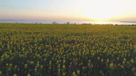 floweret : farming, beautiful blooming colza meadow in yellow florets against sky in sundown, aerial view Stock Footage