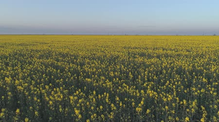 floweret : good rapeseed harvest, yellow blooming colza field in beautiful florets against sky, top view