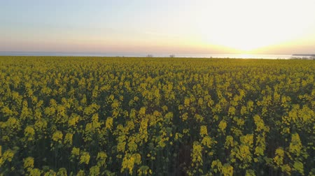 小花 : rapeseed field, yellow blooming rape meadow in beautiful flowers against sky in sunset, drone view