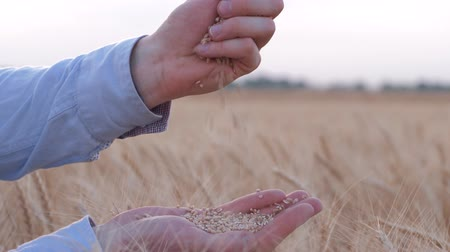 hozam : agricultural business, man farmer pours golden wheat grains slowly from hand to hand against of reaped bread field in autumn harvest season