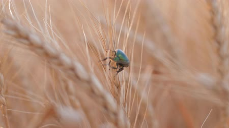 amadurecida : agriculture, bright green beetle cockchafer pest crawls slowly in golden riped ear of wheat at yield season