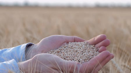 amadurecida : agribusiness, farmer hands hold and show matured gold wheat grain at camera in bread field of reaped barley spikes at harvest season against sky Stock Footage