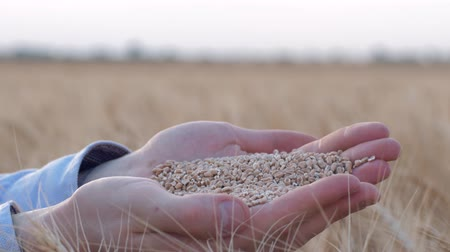 amadurecida : agriculture, grain grower hands hold and show you matured oat grain at camera in reaped golden spikes of barley at harvest season against sky Stock Footage