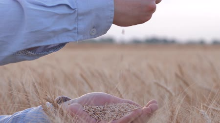 amadurecida : bread agricultural business, man hands pour wheat grains slowly from hand to hand against of reaped barley field in autumn crop season Stock Footage