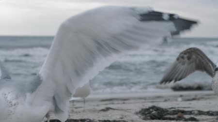 eye piece : seagull catches and eats a piece of fish in slow motion on the sand near a flock on the shore, close up view of white birds on the beach