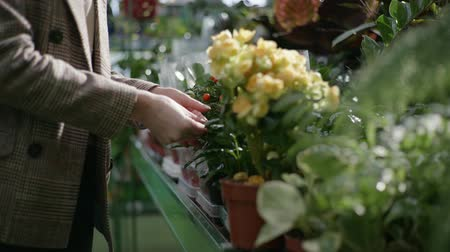 zahradník : flower shop, a professional female florist gardener working in a greenhouse and examining condition of ornamental plants in pots, close-up
