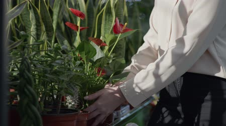 young female employee works as a florist in flower shop, happy sales manager examines decorative potted flowers on shelves in flower shop, close-up Stock Footage