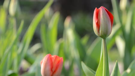 perennials : Tulip Garden. Rack focus and dolly in.
