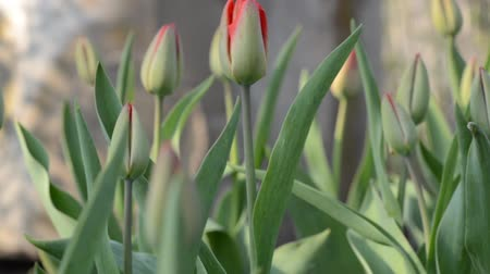 perennials : Tulip Garden. Dolly shot.