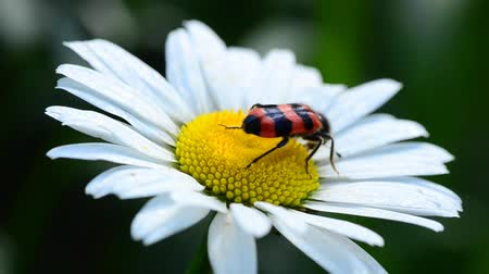 százszorszép : insect collects pollen on the flower of camomile