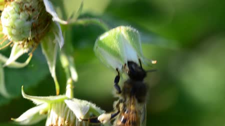 napfény : Bee pollinate a raspberry