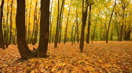forest : Panoramic Motion through a Colorful Autumn Woods