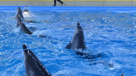yunus : Trained Dolphins Swimming in Blue Water, Closeup