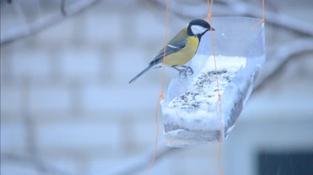 bird family : Family of titmouses at bird feeders Stock Footage